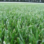Tall Fescue picture