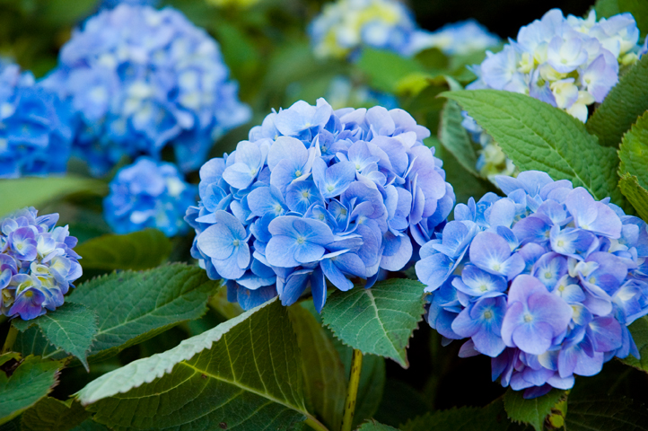 versatile hydrangea, Beautiful flower