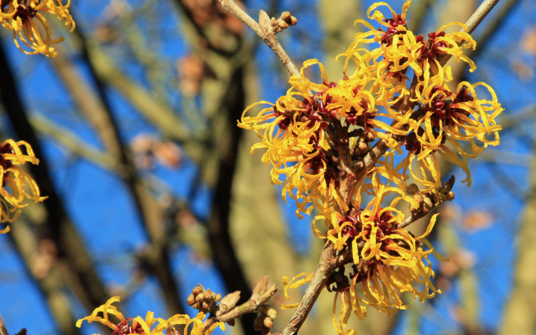 Let's Talk About Witchhazel