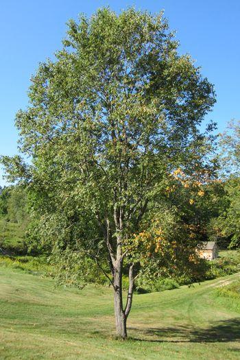 black and cherry tree delightful cherry tree
