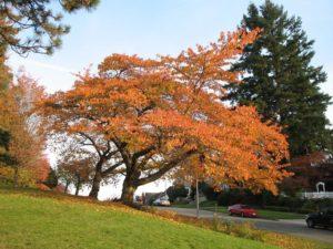 Kwanzan Cherry - Fall Color