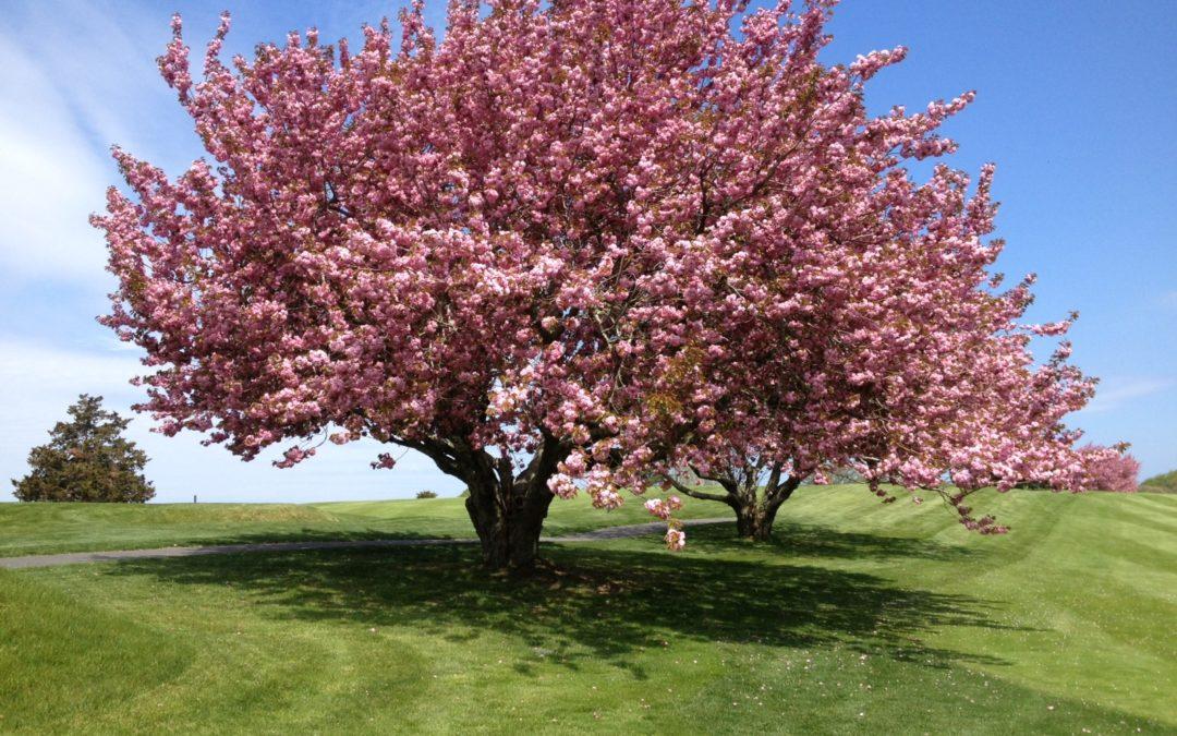 cherry tree u delightful cherry tree