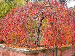 Snow Fountains Weeping Cherry - Fall Color