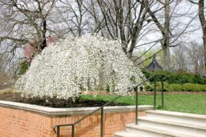 Snow Fountains Weeping Cherry - In Bloom