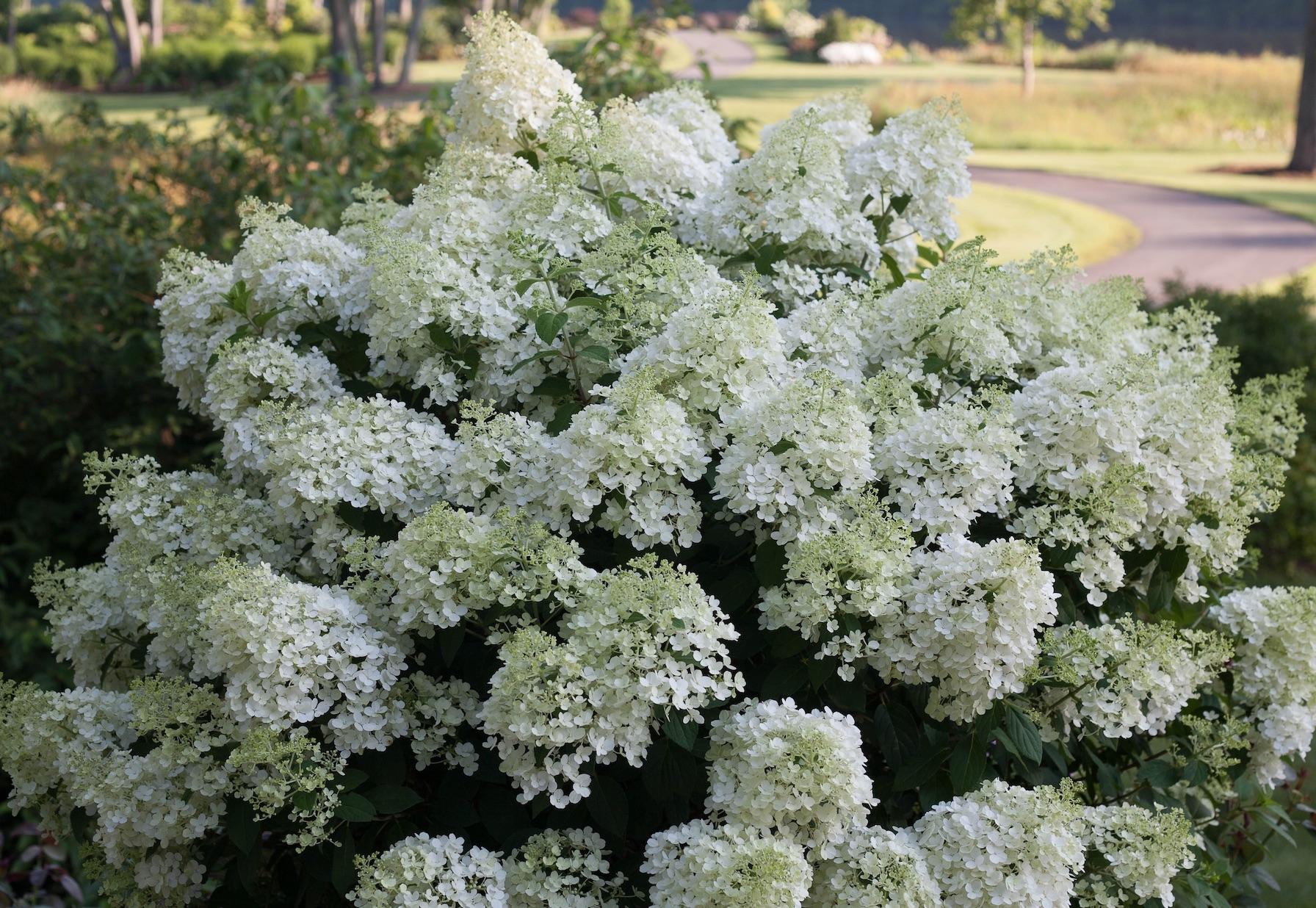 Hydrangeas That Bloom Reliably In The Indiana Landscapes