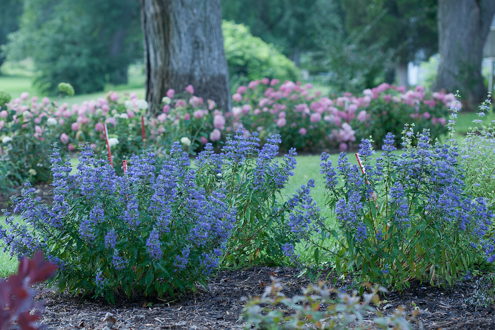 Late Blooming Shrubs For The Midwest Landscape Caryopteris