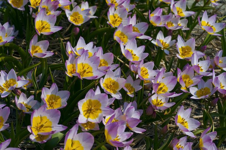 Tulipa Bakeri Lilac Wonder Species Or Wild Tulip